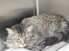 Jackson * URGENT! Cat • Domestic Short Hair Mix • Adult • Female • Medium Pike County Animal Shelter Pikeville, KY