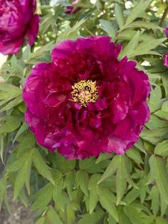 Yagumo (Layered Clouds) Tree Peony Publish red. 4' tall. Try with carex Evergold. Or daylily purple winecups