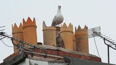 Urban gulls make their homes on the roofs of houses (Credit: Jim Hallett/naturepl.com)