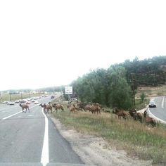 Giant elk heard crossing!