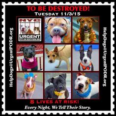 TO BE DESTROYED 11/03/15 -   **TO BE DESTROYED** -  Click for info & Current Status: http://nycdogs.urgentpodr.org/to-be-destroyed-4915/