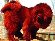 tibetan mastiff | Tibetan Mastiff ($2,200 to $7,000)