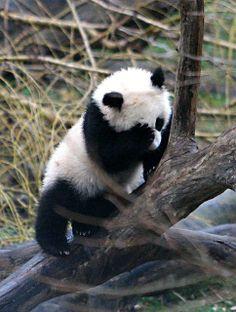 panda cub #70