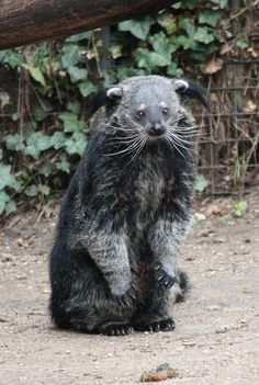 The binturong (Arctictis binturong), also known as bearcat, is a viverrid native to South and Southeast Asia. It is uncommon in much of its range, and listed as Vulnerable by IUCN because of a declining population trend that is estimated at more than 30% over the last three decades