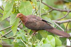 Mis amigas las palomas: Fotos especies de palomas exóticas (preciosas!! no las conoces!!)