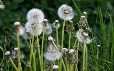 Dandelions, Meadow, Flowers, Summer  FREE