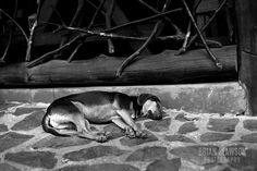 Photo by Brian Slawson Photography. Sleeping pup in Costa Rica. #dog #blackandwhite #CostaRica