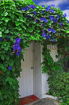1000 Images About Morning Glory On Pinterest Morning