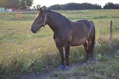 Tossede gamle hest