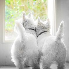 Contrast by Sherry Galey...love Westie hineys!