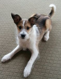 The ears crack me up; Sheltie and Jack Russell mix