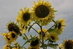 Sunflower Seeds - ARIKARA - Large 10 Foot Plants - Heirloom Annual - 10 Seeds #theseedhouse Native American Seed, Sunflower Seeds, Spring Sale, Nativity, Farms, Plants, Ebay, Collection, The Farm