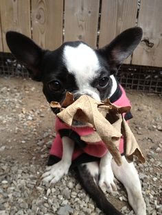 Pig loves to chew crunchy leaves! I Miss Her, Sweet Girls, Boston Terrier, Leaves, Dogs, Animals, Animais, Animales, Animaux