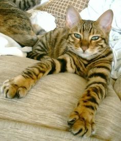 Bengal cat- Same cat P.J. all grown up.Sweet & loves to talk.