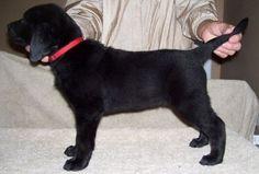 black lab puppy pictures 8 weeks