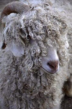 http://www.flickr.com/photos/tangatamanu/5521441058/in/photostream/  #sheep #curly #horned