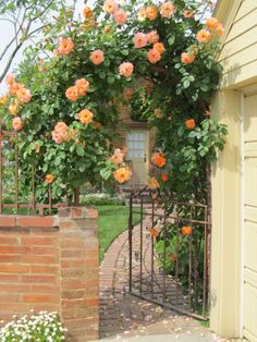 Climbing Westerland roses on back arch with a peak of the back door.
