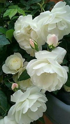 If you are thinking of rose gardening don't let this rumor stop you. While rose gardening can prove to be challenging, once you get the hang of it, it really isn't that bad. Amazing Flowers, Beautiful Roses, Pretty Flowers, Beautiful Gardens, Beautiful Flowers Pictures, White Roses, Pink Roses, White Flowers, Blush Roses