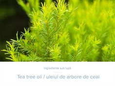 There are a myriad of tea tree oil benefits in today's society. Everything from acne treatments to clearing the air. Tea tree oil is a necessity in one's arsenal of natural medicinal products. Natural Home Remedies, Natural Healing, Natural Skin, Remove Skin Tags Naturally, Candle Scent Oil, Skin Tag Removal, Hair Growth Oil, Oil Benefits, Oils For Skin