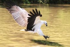 The White-bellied Sea-eagle is one of the largest raptors in Southeast Asia, and the second largest bird of prey in Australia after the Wedge-tailed Eagle. Eagle Wings, Eagle Bird, Bald Eagle, Eagle Nest, Largest Bird Of Prey, Wedge Tailed Eagle, Animal Symbolism, National Animal, Animaux