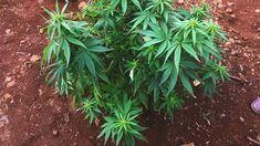 """May mga pulitiko at sikat na mga duktor na eksperto daw ang nagsasabing """"walang magandang dulot ang Medical Cannabis, at maari daw tayong maging Zombie. Ito daw ay mapanganib sa kalusugan ng publiko.""""   Sa Australia, mismo ang kanilang Ministry of Health ang nangunguna upang hikayatin ang kanilang gobyerno na magtanim at mag export ng Medical Cannabis.   #YesToMedCan #PassHB6517   http://www.abc.net.au/news/2018-01-04/australia-seeks-global-domination-of-medical-cannabis-market/9302524…"""