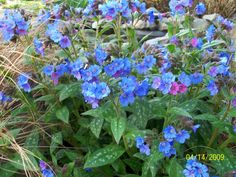 pulmonaria smokey blue | ... entire plant of Lungwort ( Pulmonaria 'Smoky Blue') posted by Bonehead