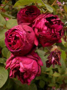 Hybrid Multiflora Climbing Rose: Rosa 'Leopold Ritter' (Austria-Hungary, 1900)