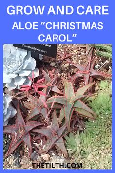 "Aloe ""Christmas Carol"""