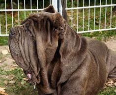 Unusual dog breeds: Neapolitan Mastiff. Popular pet in ancient Rome as guard dogs ... and to bait bears, bulls, and jaguars.