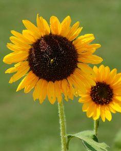 Sunflowers--
