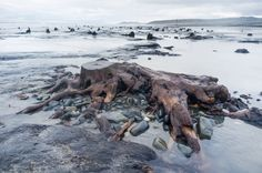 Ancient forest revealed by storms. The recent huge storms and gale force winds that have battered the coast of West Wales have stripped away...