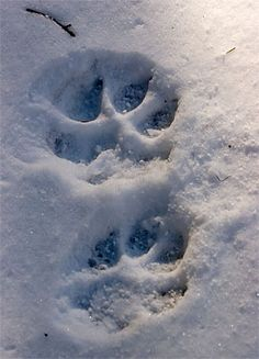 Would you recognize wolf tracks?