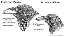 difference between crows and ravens
