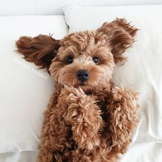 Dog And Puppies Small .Dog And Puppies Small Super Cute Puppies, Cute Little Puppies, Cute Little Animals, Cute Dogs And Puppies, Cute Funny Animals, Doggies, Fluffy Puppies, Mini Goldendoodle Puppies, Maltipoo