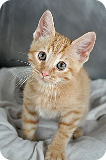 Fort Leavenworth, KS - American Shorthair. Meet Donner, a kitten for adoption. http://www.adoptapet.com/pet/12183401-fort-leavenworth-kansas-kitten