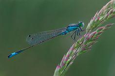 Damigella - Ischnura elegans by Alessandro Pessina, via Flickr