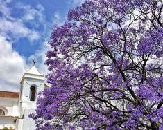 Jacaranda Bäume in Tavira - Algarve Portugal Reisen In Europa, Roadtrip, Travel, Outdoor, Bergen, Colors, Jacaranda Trees, Destinations, Travel Photography