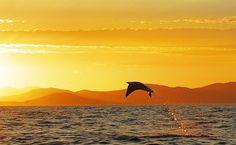 Manta Ray in Loreto Bay, Baja California Sur, Mexico.