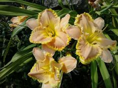 Georgeous daylily at otter creek primitives from Bob Ellison Perrenials of rockford IL