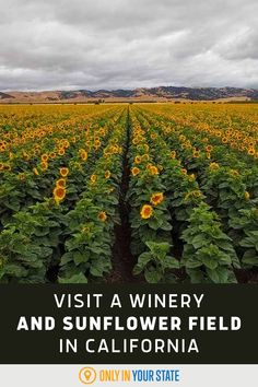 Enjoy delicious wine and a beautiful sunflower field at this unique winery in Northern California. Sunflower Season, Sunflower Fields, June Events, Types Of Sunflowers, California Attractions, Famous Beaches, Hidden Beach, Family Vacations, Natural Wonders