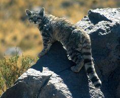 Leopardus jacobitus o gato andino latinoamericano