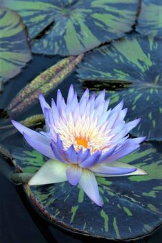 28 Ideas For Flowers Lotus Photography Strange Flowers, Rare Flowers, Flowers Nature, Exotic Flowers, Amazing Flowers, Beautiful Flowers, Lotus Flowers, Pond Plants, Aquatic Plants