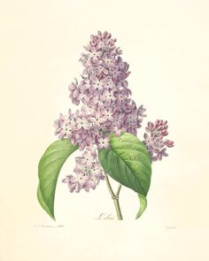 Vintage lilac botanical print, a nod to the new Lilac scent from Mrs. Meyers Clean Day.