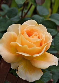'Cappuccino' | Hybrid Tea Rose°°