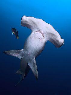Hammerhead Shark and King Angel fish