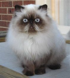 One of my most favourite breed's, although the breeders have allowed them to be too inbred, so my current Himilayan has trouble breathing and seeing!!!!!!!!!Himilayan Persian Cat for a pet