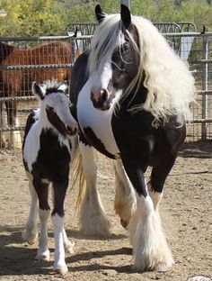 Black and White Pinto Paint Gypsy Vanner Horse Standing Foal Colt Filly Stallion Gelding Mare