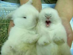 bunnies- mine yawns like this all the time. Cutest ever.
