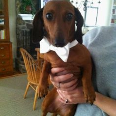 Wedding Doxie. Dachshund love