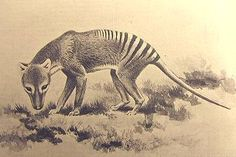 The Tasmanian Wolf. Due to ranchers wanting to expand, paying bounties to hunters Great Auk, Tasmanian Tiger, Australia Animals, Extinct Animals, Cryptozoology, Wild Dogs, Wombat, Endangered Species, Cute Funny Animals